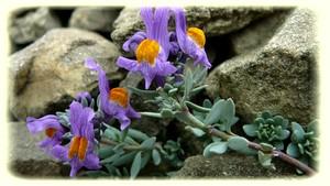 Linaire Alpine plante protégée