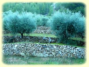 Champs d'oliviers en restanques ...
