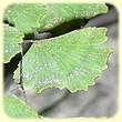 Adiantum capillus-veneris (capillaire de Montpellier) - Flore des calanques - Les Randos de Loulou