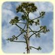 Agave americana (Agave) - Les Randos de Loulou - Flore des Calanques