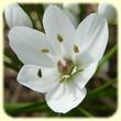 Allium neapolitanum (ail de Naples) - Les Randos de Loulou