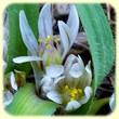 Allium chamaemoly (Ail petit-moly) - Les Randos de Loulou