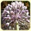 Allium polyanthum (ail à fleurs nombreuses) - Flore des Calanques - L`Herbier de Loulou