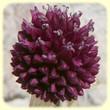 Allium sphaerocephalon (Ail à tête ronde) - Flore des Calanques - L`Herbier de Loulou