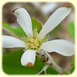 Amelanchier ovalis (Amélanchier) - Les Randos de Loulou