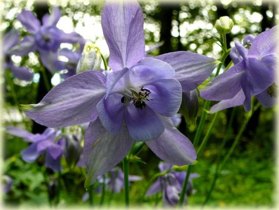 Randonnée forêt de Beson_Tarn_Ancolie bleue_Les Randos de Loulou