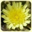 Andryala integrifolia (Andryale sinueuse) - Les Randos de Loulou - Flore des Calanques