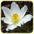 Anemone alpina subsp. alpina (Pulsatille des Alpes) - Les Randos de Loulou