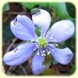 Anemone hepatica (Anémone hépatique) - Les Randos de Loulou