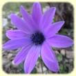 Anemone hortensis (Anémone des fleuristes) - Les Randos de loulou
