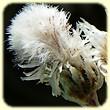 Antennaria dioica (Antennaire dioque) - Les Randos de Loulou