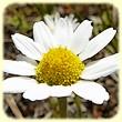 Anthemis arvensis (Anthémis des champs) - Les Randos de Loulou - L`Herbier de Loulou