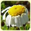 Anthemis secundiramea (Anthémis à rameaux tournés du même côté) - Les Randos de Loulou - L`Herbier de Loulou