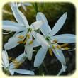 Anthericum liliago (Phalangère à fleurs de lis) - Les Randos de Loulou