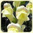 Antirrhinum majus subsp. latifolium (Muflier a larges feuilles) - Les Randos de Loulou