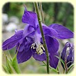 Aquilegia vulgaris (Ancolie commune) - Les Randos de Loulou