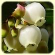 Arbutus unedo (Arbousier commun) - Les Randos de Loulou - L`Herbier de Loulou