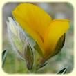 Argyrolobium zanonii (Cytise argenté) - Flore des Calanques - Herbier de Loulou