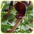 Aristolochia pistolochia (Aristoloche Pistoloche) - Les Randos de Loulou - L`Herbier de Loulou