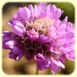 ARMERIA ALPINA (Armérie des Alpes) - Flore de montagne - L`Herbier de Loulou