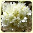 Armeria arenaria subsp. bupleuroides (Armérie faux buplèvre) - Les Randos de Loulou - L`Herbier de Loulou