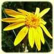 Arnica montana (Arnica) - Flore de montagne - L'herbier de Loulou