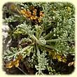 Artemisia caerulescens subsp. gallica (Armoise de France) - Les Randos de Loulou - Flore des Calanques