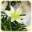 Asparagus acutifolius (Asperge sauvage) - Les Randos de Loulou - L`Herbier de Loulou