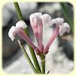 Asperula cynanchica (Aspérule à l`esquinancie) - Les Randos de Loulou - L`Herbier de Loulou
