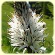 Asphodelus albus (Asphodèle blanc) - Les Randos de Loulou
