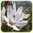 Asphodelus cerasiferus (Asphodèle-cerise) - Les Randos de Loulou - L`Herbier de Loulou