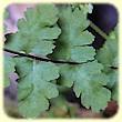 Asplenium petrarchae (Asplénium de Pétrarque) - Les Randos de Loulou - L`Herbier de Loulou