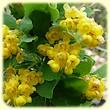 Berberis vulgaris (Epine-vinette) - Flore des Calanques - Herbier de Loulou
