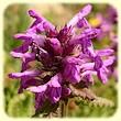 Betonica hirsuta (Epiaire du Monte Prada) - Flore de montagne - L`Herbier de Loulou
