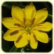 Blackstonia perfoliata (Centaurée perfoliée) - Les Randos de Loulou - Flore des Calanques