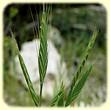 Brachypodium distachyon (Brachypode à deux épis) - Flore des Calanques - L`herbier de Loulou