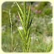 Brachypodium retusum (Brachypode rameux) - Flore des Calanques - L`herbier de Loulou