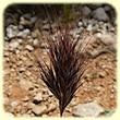 Bromus rubens, Anisantha rubens (Brome rouge) - Flore des Calanques - L`herbier de Loulou