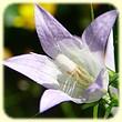 Campanula rapunculus (Campanule raiponce) - Les Randos de Loulou