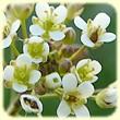 Capsella bursa pastoris (Capselle bourse à pasteur) - Flore des Calanques - L`herbier de Loulou