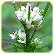 Cardamine hirsuta (Cardamine hérissée) - Flore des Calanques - L`herbier de Loulou