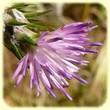 Carduus pycnocephalus (Chardon à têtes denses) - Flore des Calanques - L`herbier de Loulou