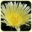 Carpobrotus acinaciformis & C. edulis (Figue des Hottentots) - Flore des Calanques - Herbier de Loulou