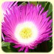 Carpobrotus acinaciformis & C. edulis (Griffes de sorcières) - Flore des Calanques - Herbier de Loulou