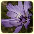 Catananche caerulea (Catananche bleue) - Les Randos de Loulou