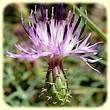 Centaurea aspera (Centaurée rude) - Flore des Calanques - L`Herbier de Loulou