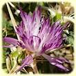 Centaurée chausse-trape (Centaurea calcitrapa) - Flore des Calanques - L`Herbier de Loulou