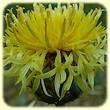 Centaurea collina (Centaurée des collines) - Herbier de Loulou - Flore des Calanques