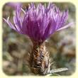 Centaurea paniculata (Centaurée à panicule) - Flore des Calanques - L`Herbier de Loulou