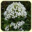 Centranthus ruber `albus` (Centranthe Rouge `blanche`) - Flore des Calanques - L`Herbier de Loulou